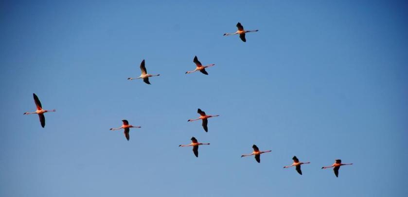 """Lesser Flamingo"" by Nikunj vasoya, CC BY-SA 3.0 via Wikimedia Commons"