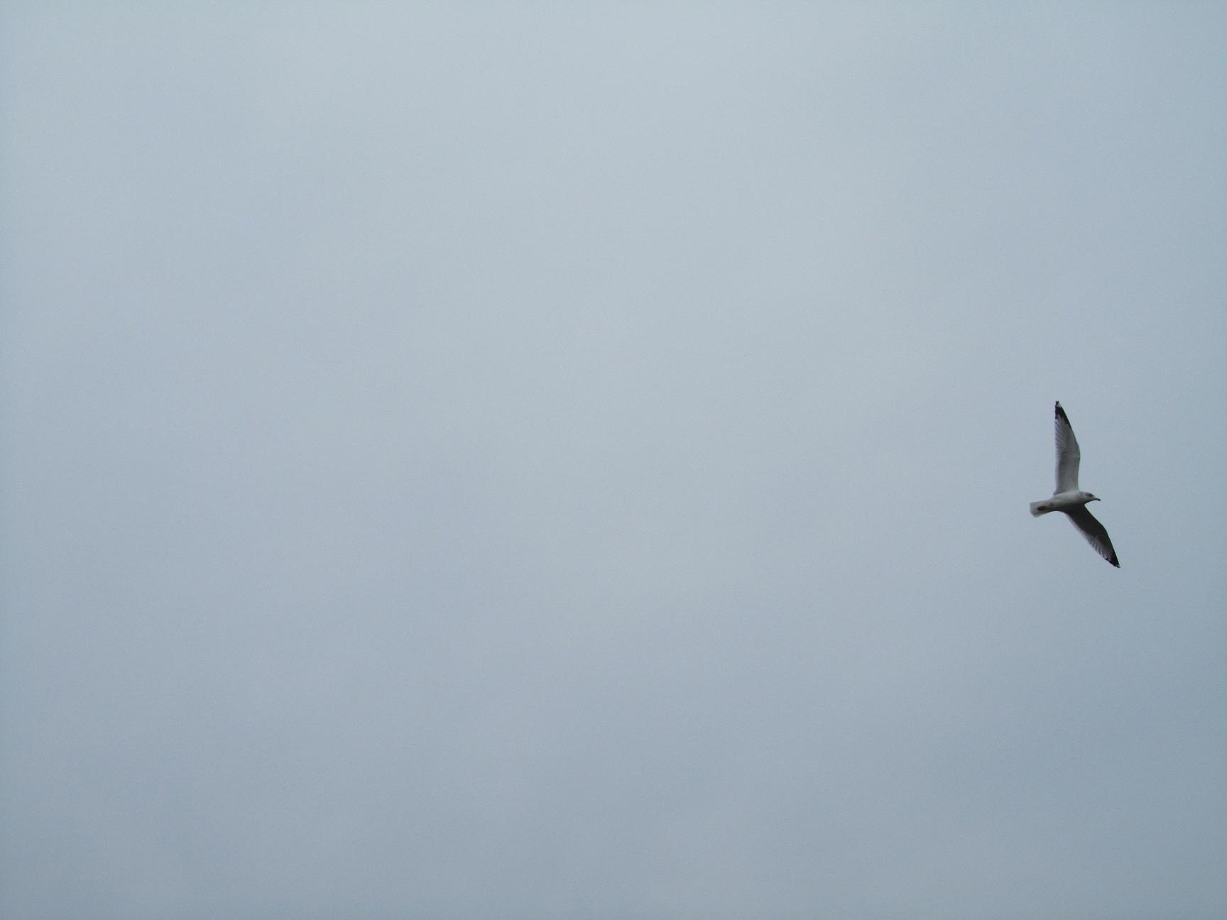 meeuwlucht