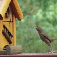 Die vogels die zitten weer klaar in 't struweel