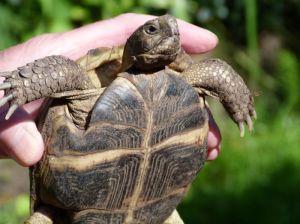 Schildpad van Ilona