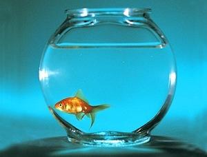 goudvis in kom