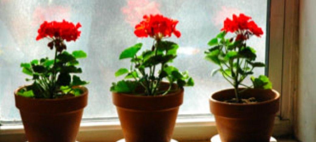 Geraniums maken nog meer mee(50)