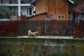 Hond in Roemenie, foto niet van Pawi noch Chaperon, maar van ene llulila