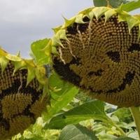 Zwaaien naar de zonnebloemen