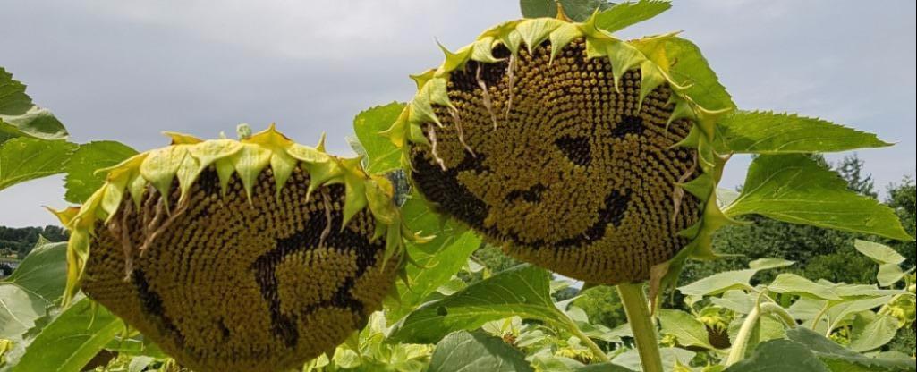 Zwaaien naar de zonnebloemen(172)