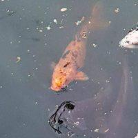 Schildpad valt duikboot aan (233)